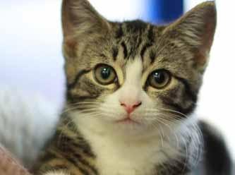 Kediler daha fazla COVİD -19 'a yakalanıyor